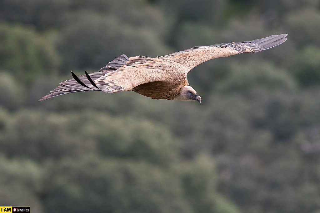 Gänsegeier, Monfragüe